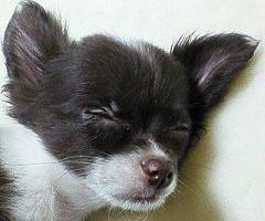 仔犬チロさんの寝顔