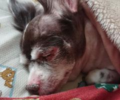老犬チロさんの寝顔